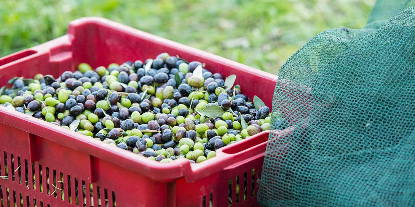 Olive oil Malcesine