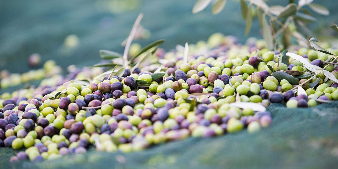 Olive tree oil Lake Garda