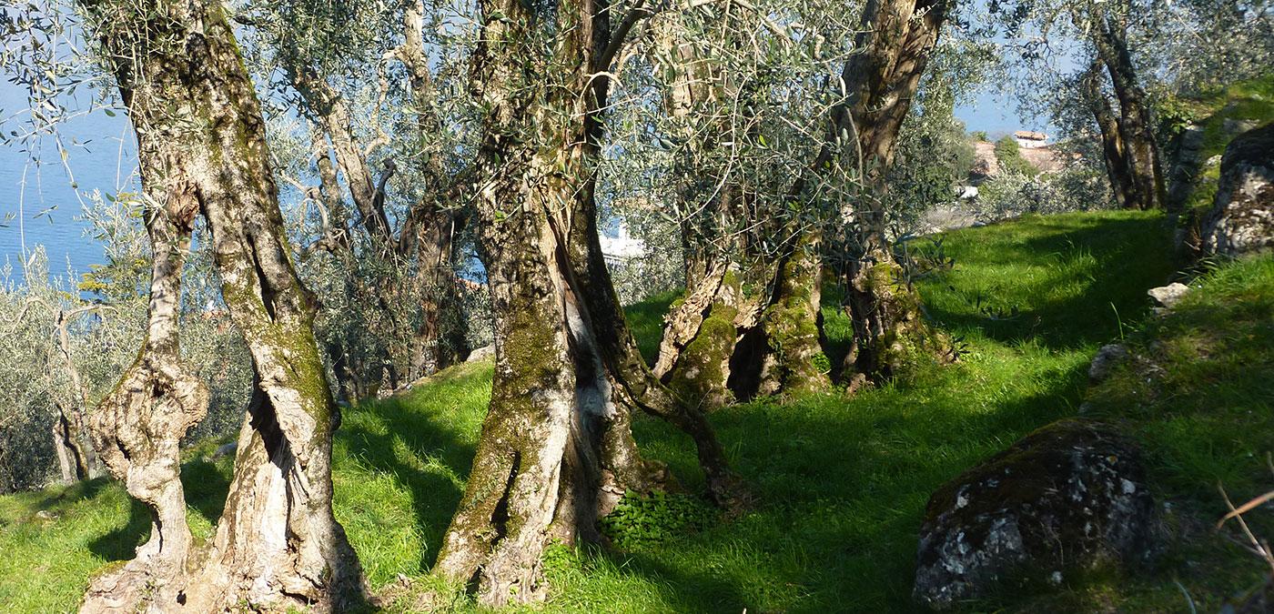 Pianta d'olivo di Malcesine