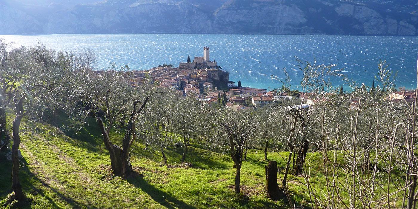 Pianta d'olivo al lago di Garda, Malcesine